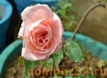Роза команатная