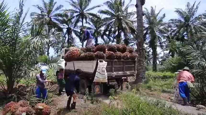 Плоды африканской масличной пальмы